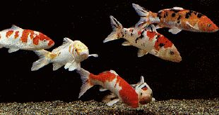 Guida all 39 acquariofilia di renato chiesa for Carpa pesce rosso